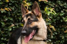 adopt a german shepherd - argo