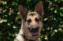 adopt a german shepherd - Indy