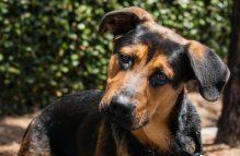adopt a german shepherd - romeo