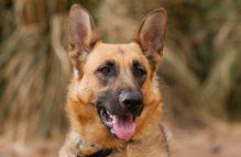 adopt german shepherd- sunshine