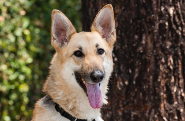 adopt a german shepherd - ursula