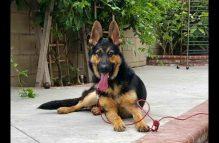adopt a german shepherd - kentucky