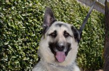 adopt a german shepherd - smokey