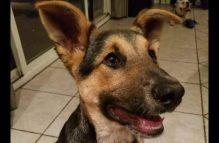 adopt a gsd puppy - vegeta