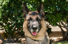 adopt german shepherd - dj