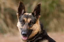 adopt german shepherd- Haylie