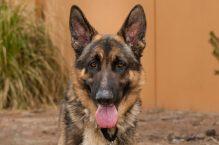 adopt a german shepherd - Kaizer