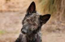 adopt german shepherd- Olivia