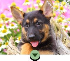 Adopt A German Shepherd Puppy