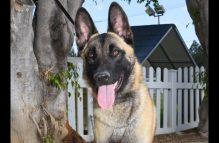 adopt a german shepherd - teton