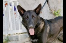 adopt a german shepherd - Tex