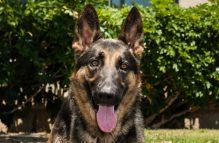 adopt a german shepherd - billy