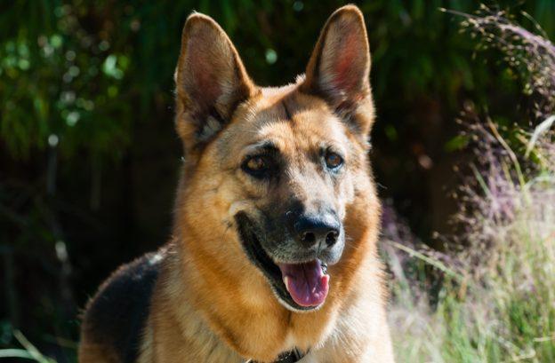 adopt a german shepherd - sashi