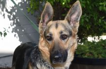 adopt a german shepherd - barbi