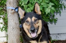 adopt german shepherd - eleanor