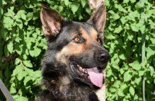adopt a german shepherd - garrett