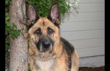 adopt a german shepherd - greta
