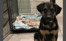 adopt a german shepherd - scout