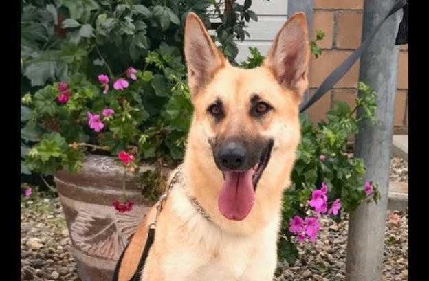 adopt a german shepherd - brooke