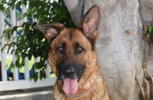 adopt a german shepherd - miley