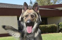 adopt a german shepherd - zack