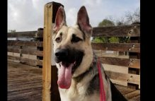 adopt a german shepherd - zeke