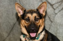 adopt a german shepherd -andrew