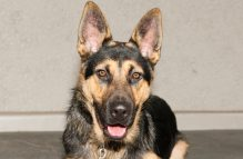 Adopt a german shepherd -liam