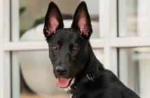 adopt a german shepherd - llilibeth