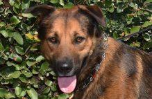 adopt a german shepherd - hondo