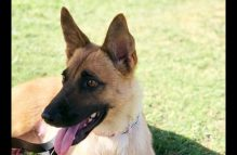 adopt a german shepherd - jyn