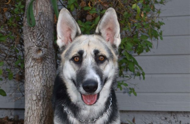 Adopt a german shepherd -kylie