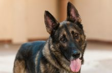 adopt a german shepherd - humphrey