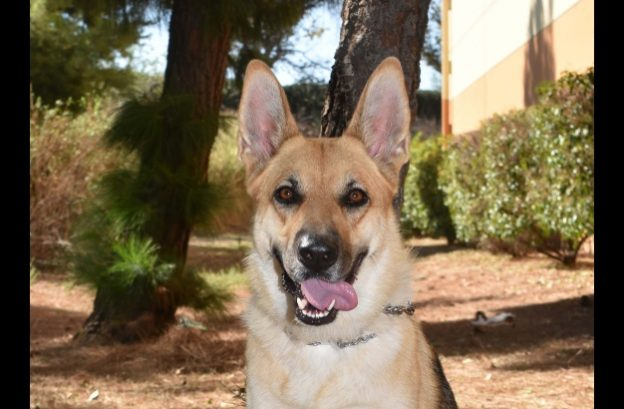 adopt a german shepherd - daisy