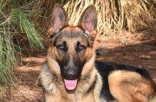 adopt a german shepherd - evan