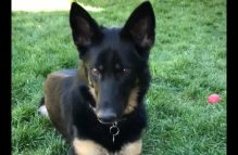 adopt a german shepherd - kaluna
