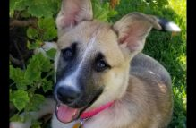 adopt a german shepherd - patch
