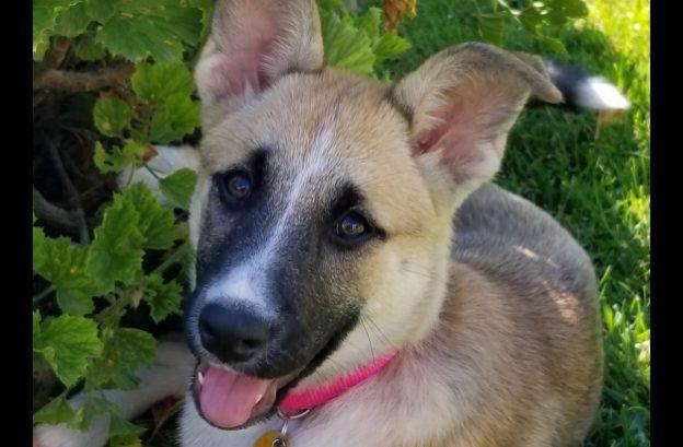 adopt a german shepherd - patch