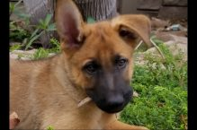 adopt a german shepherd puppy - pepper