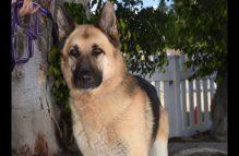 poncho adopt german shepherd