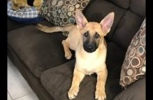 adopt a german shepherd - rolly