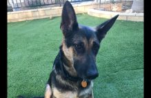 adopt a german shepherd - roxy