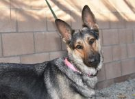 adopt a german shepherd - heather