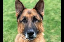 adopt a german shepherd - atlas
