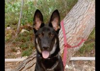 adopt a german shepherd - eddie
