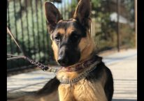 adopt a german shepherd - elvis