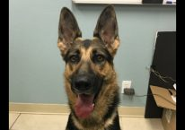 adopt a german shepherd - storm