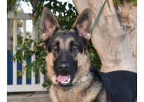 adopt a german shepherd - sweet sasha