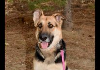 adopt a german shepherd - whitney
