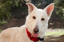 adopt a german shepherd - asher
